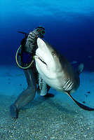 This diver (MR) in a full chain mail suit is hand feeding Caribbean Reef Sharks Carcharhinus perezi, off Freeport, Bahamas..
