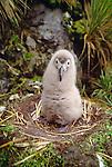 Light-mantled albatross chick in nest, Gold Harbor, South Georgia Island