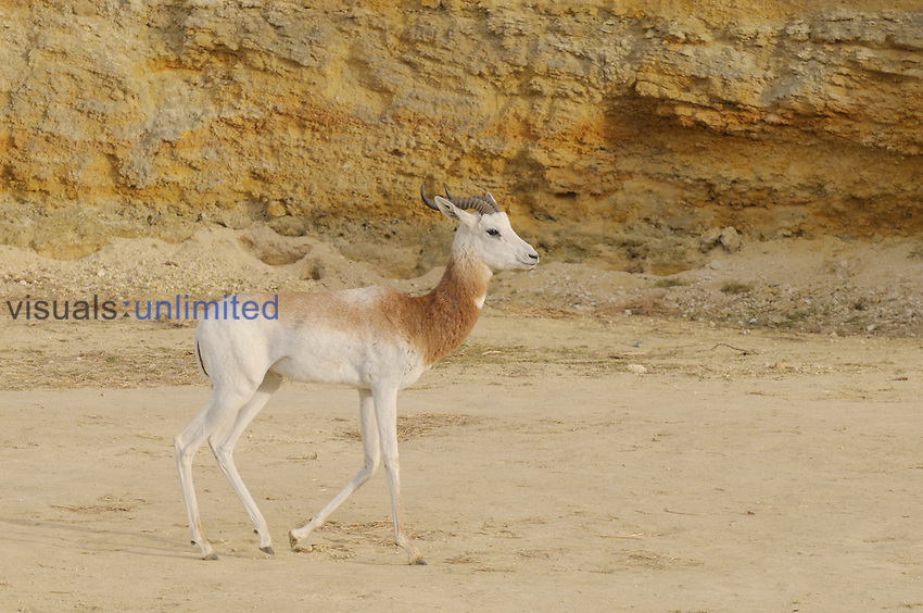 Dama Gazelle (Nanger dama), a critically endangered species. Captive