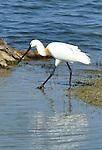Yala National Park Sri Lanka<br /> Eurasian Spoonbill