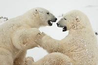 2 polar bears play together, Wapusk National Park, Manitoba, Canada, November 2006