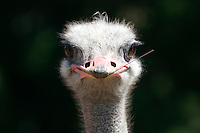 Howdy pardner. An ostrich stares down the camera. Photographed 5/07