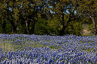 Field of Bluebonnets surround Texas Live Oak Trees in the Hill Country