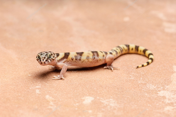 A Western Banded Gecko (Coleonyx variegatus) hunting for prey. Tucson, Arizona.