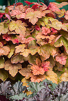 Heucherella Redstone Falls shade garden foliage plant perennial, showing portrait of leaves, aka Heuchera Redstone Falls or Red Stone Falls