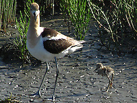 An adult Avocet with the chick it's been introducing to the water.