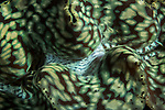 Florida Islands, Solomon Islands; a detail view of the colors and patterns inside the mantle of a giant clam