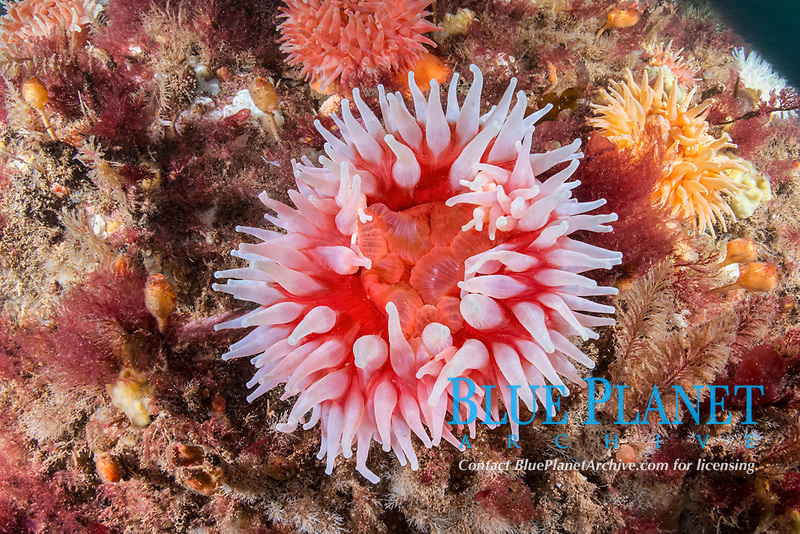 Northern Red Anemone, Urticina felina, Eastport, Maine, USA, Atlantic Ocean