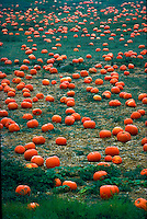 Pumpkin patch, Oceanside, California
