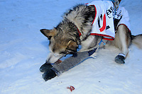 Aliy Zirkle's sled dogs wearing new leggings and booties to protect against frostbite, after arriving 16th place, Nome, Alaska.