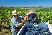 Man emptying Sangiovese Chianti Classico grapes into vat at Pontignano in Chianti region of Tuscany, Italy