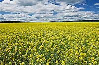 canola crop in bloom<br /> Verner<br /> Ontario<br /> Canada
