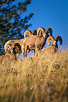Bighorn Sheep rams on a grassy hill in Montana