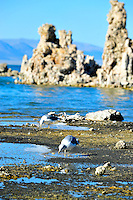 Sept. 5, 2010 - Mono Lake, California, U.S. - Birds feast on alkali flies on the shore of Mono Lake near Lee Vining, California. Mono Lake is a majestic body of water covering about 70 square miles. It is an ancient lake, over 1 million years old -- one of the oldest lakes in North America. It has no outlet and no fish; instead it is home to trillions of brine shrimp and alkali flies. (Photo by Alan Greth/ZUMA Press)
