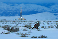 Greater Sage-Grouse and fracking rig. Pinedale Mesa. Sublette County, Wyoming. March.