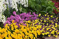 Pansies (Viola) johnny jump up flowers at edge of garden bed with nemesia and snapdragon