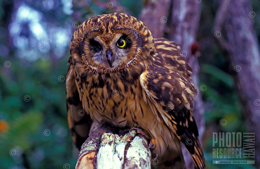 Front close-up view of an Hawaiian owl, known as a Pueo, and sacred in Hawaiian culture as an aumakua. A native endangered species in Hawaii. (species: asio flammeus sandwichensis)