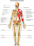 Elements of the muscular, skeletal and nervous systems shown from a back, or posterior, view. Prominently features upper back and arm muscles.