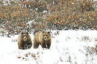 Two grizzly bears walk across the fresh winter snow in Atigun Canyon, Brooks Range, Alaska