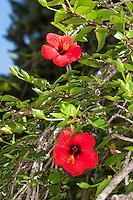 Hibiskus, Chinesischer Roseneibisch, Roseneibisch, Chinesische Rose, Zimmer-Hibiskus, Eibisch, Hibiscus rosa-sinensis, Hibiscus rosa sinensis, Hibiscus, Rose mallow, Chinese hibiscus, China rose, Shoe flower