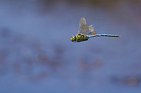 Emperor dragonfly (Anax imperator) in flight. Dorset, UK.