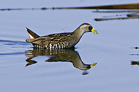 Sora wading through a shallow pond