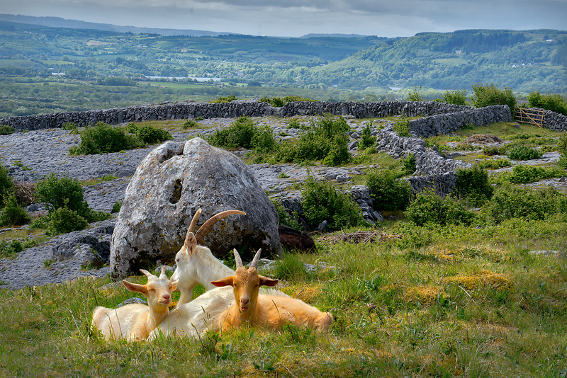 Goats in field on Lough Avalla Farm Loop Trail. The Burren, County Clare, Ireland