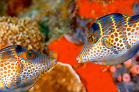 Valentin's / black saddled toby prelude to mating (foreplay) (Canthigaster valentini) , The pinnacles, Loloata, Bootless bay, Coral sea, Pacific ocean, Papua New Guinea, Asia