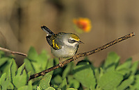 Golden-winged Warbler, Vermivora chrysoptera,female, South Padre Island, Texas, USA