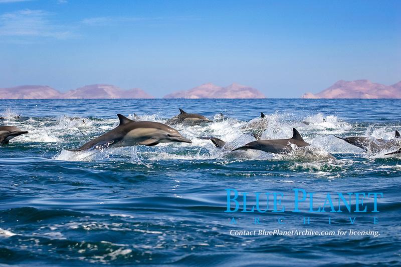 Common dolphins (delphinus delphis.Common dolphin at high speed. Gulf of California., Baja California, Mexico, Pacific Ocean