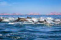 Common dolphins (delphinus delphis.Common dolphin at high speed. Gulf of California., Baja California, Mexico, Pacific Ocean