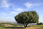 T-151 Kermes Oak at Ein Zeved on Mount Meron