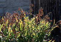 Chasmanthium latifolium backlit Wild Oats ornamental grass, shadows, light and dark, seedheads, in seeds in autumn