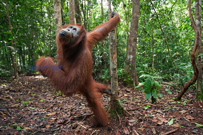 Bornean Orangutan female  (Pongo pygmaeus wurmbii), Pondok Tanggui, Tanjung Puting National Park, Central Kalimantan, Borneo, Indonesia. Rehabilitated and released.