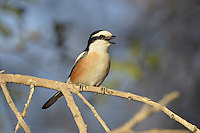 Masked Shrike, male - Lanius nubicus