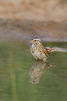 578820048 a wild lincoln's sparrow melospiza lincolnii pauses for a bath in a small pond on dos venadas ranch in starr county rio grande valley texas united states