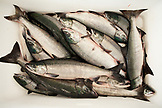 USA, Alaska, Sitka, Salmon are sorted by size after being unloaded from a fishing boat