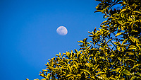 A waxing gibbous moon against a blue sky with a sort-of crescent of green leaves.