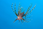 Juvenile lionfish, Pterois volitans, Puri Jati, north Bali, Indonesia, Pacific Ocean