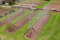 Sweet pea canes poles trellis and watering, how to stake peas in the garden, Lathyrus or vegetable peas, practical tip on staking vines, mulched beds in lawn, tying up vines preparation
