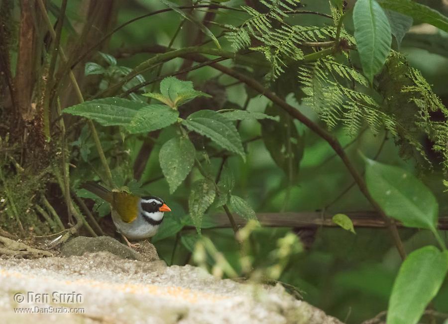Orange-billed sparrow, Arremon aurantiirostris, approaches a feeder at San Jorge de Milpe Eco-Lodge, Mindo, Ecuador