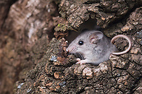 White-footed Mouse, Peromyscus leucopus, adult in log, Uvalde County, Hill Country, Texas, USA, April 2006