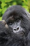 Vain Gorilla picks on himself. Rwanda-Volcano National Park. Wildlife | Forfengelig Gorilla plukker på seg selv. Volcano National Park, Rwanda. Ville dyr.