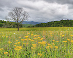 HDR image of Spring wildflowers carpeting a pasture in Cades Cove under a cloudy sky.