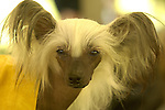 Chinese Crested Hairless Breed.