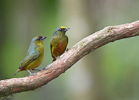 Male (right) and female Olive-backed euphonias perch together.