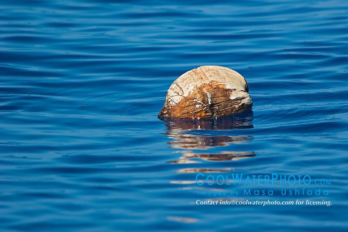 Coconut drifting in open ocean, Cocos nucifera, off Kona Coast, Big Island, Hawaii, Pacific Ocean