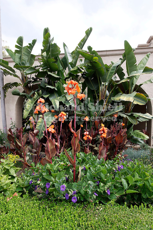 TROPICANA GARDEN CANNA, KING'S MANTLE, THUNBERGIA ERECTA, GIANT BIRD OF PARADISE, BOXWOOD HEDGE