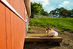 South Merrick, New York, USA - September 7, 2014 - Nigerian Dwarf goat lies in the sun near red barn, during a late summer day with pleasant weather at Norman J Levy Park and Preserve marshland on Long Island, New York.