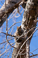 Grey Squirrel in tree with black squirrel in backgroound